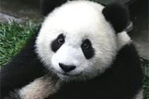 O carisma do panda