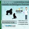 PCDHB11 é a proteína que apresenta o maior número de mutações na linhagem humana